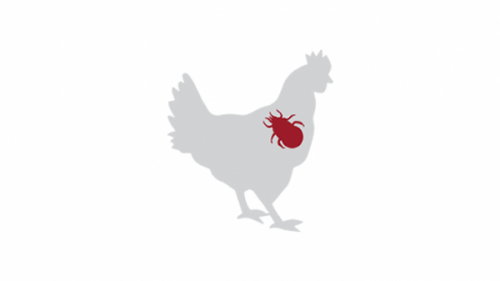 5 symptoms to help you recognize (red) mites on chickens