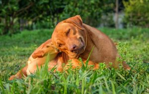 treating flea naturally in dogs