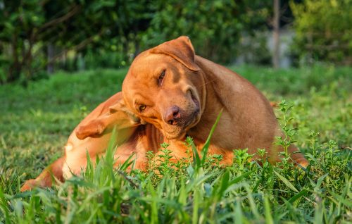 Prevent fleas in a natural manner with Finecto+ Dog!