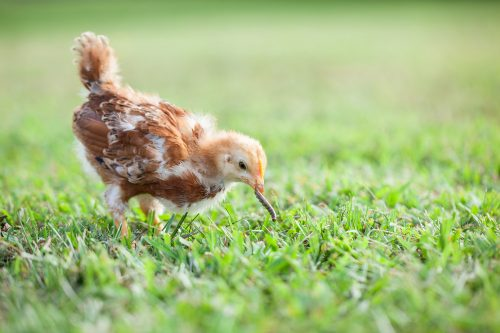 How can I tell if my chicken has worms? How do I prevent worms?