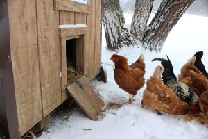 Do red mites die from below-freezing temperatures in the chicken coop in winter?