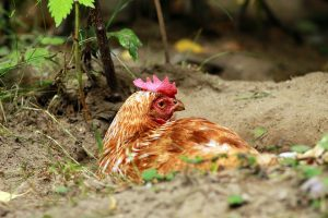 Effectively treating red mites in chickens